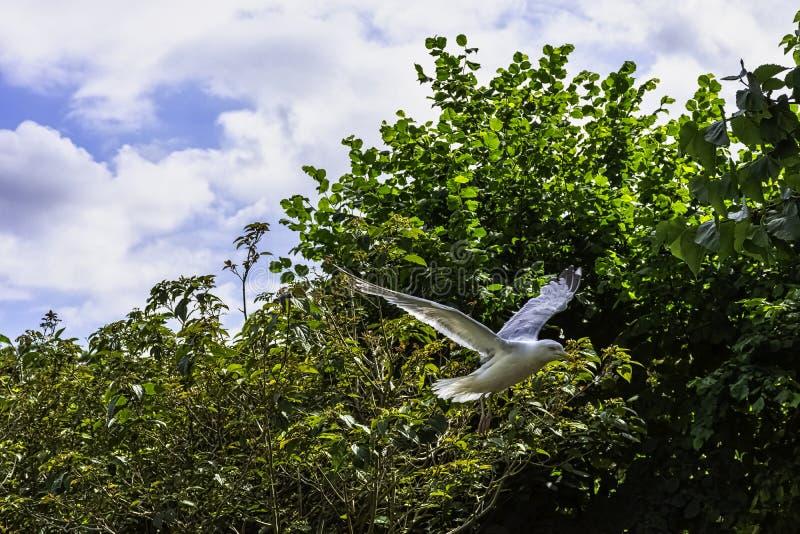 Fliegende europäische Silbermöwe im britischen Park - Chichester, West-Sussex, Großbritannien stockfotos
