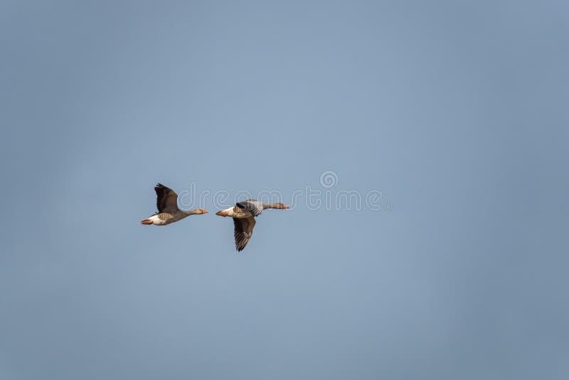 Fliegende graue Gänse im Frühjahr lizenzfreie stockfotografie