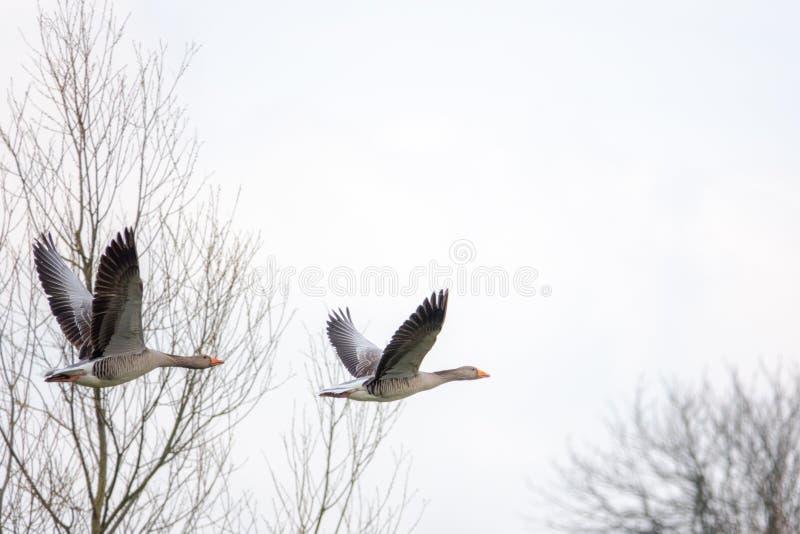 Fliegende graue Gänse im Frühjahr lizenzfreie stockfotos