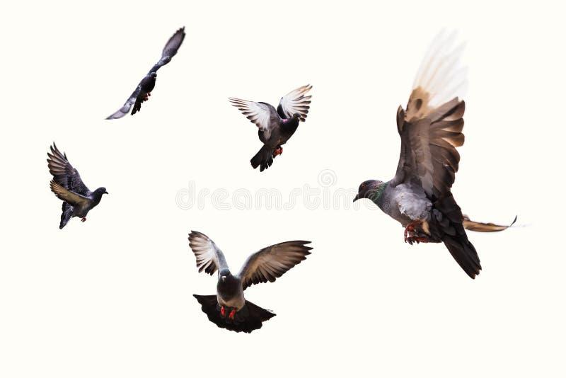 Fliegende graue Tauben stockbild