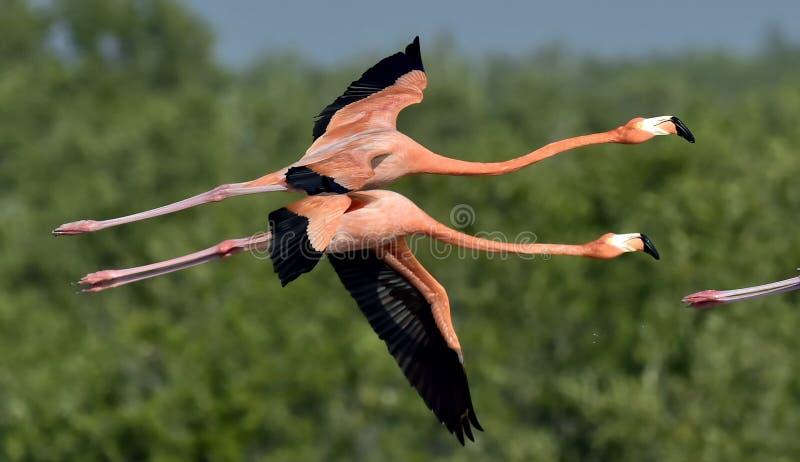 Fliegende karibische Flamingos (Phoenicopterus-ruber) stockfotografie