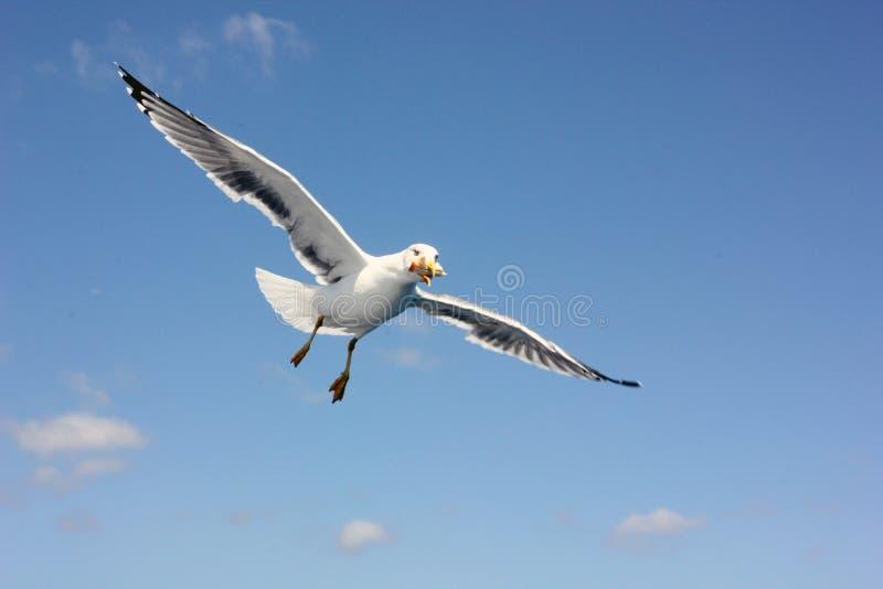 Fliegende Seemöwe, die ein Sandwich isst