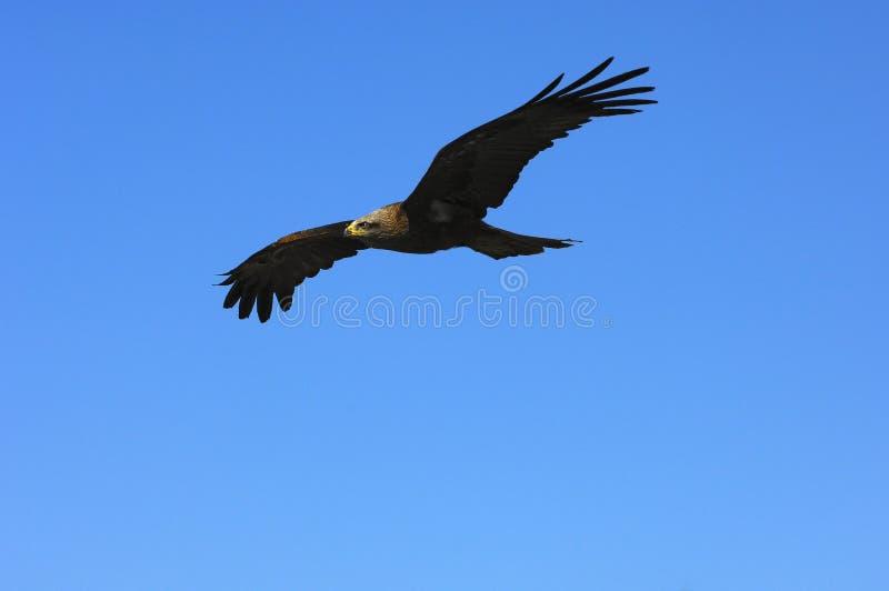 Fliegender goldener Adler stockfotografie
