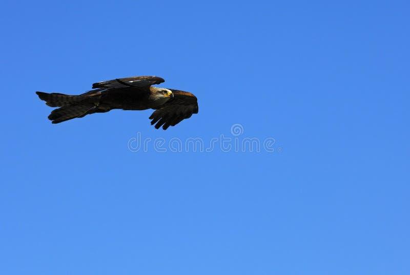 Fliegender goldener Adler stockbild