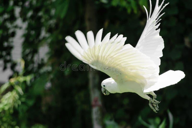 Fliegender weißer Gelbhaubenkakadu in grünes Laub unscharfem Hintergrund stockfotos