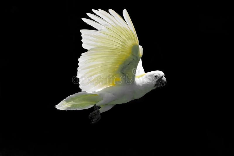 Fliegender weißer Gelbhaubenkakadu lokalisiert auf schwarzem Hintergrund lizenzfreies stockfoto