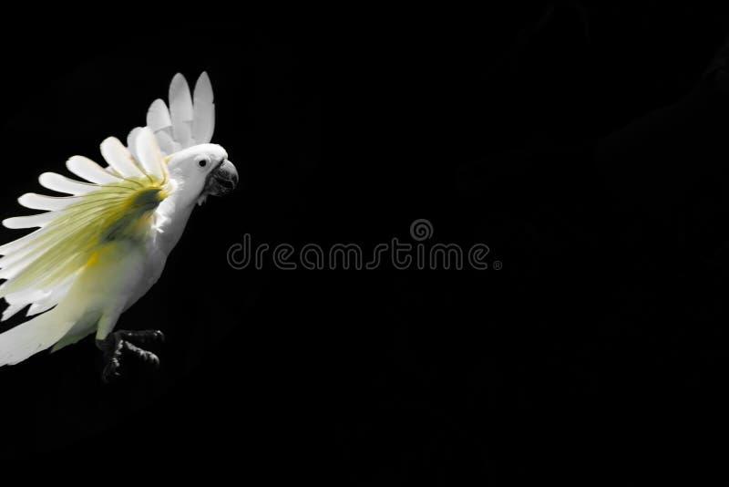 Fliegender weißer Gelbhaubenkakadu lokalisiert auf schwarzem Hintergrund mit freiem Raum stockfotos