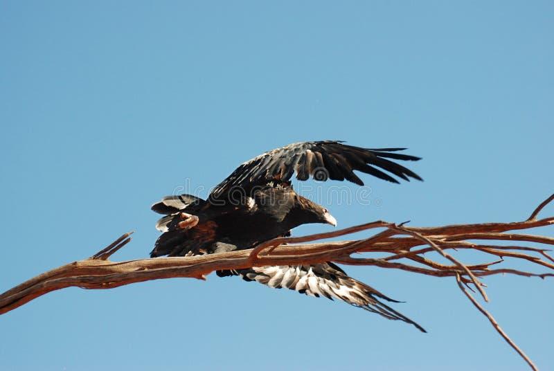 Fliegender Zwängen-angebundener Adler lizenzfreie stockfotografie