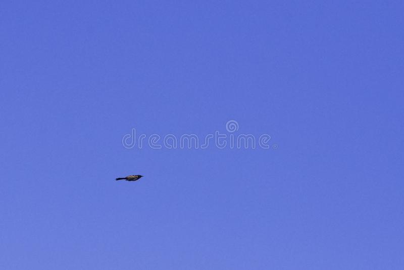 Fliegendes Drossel Malabar pfeifendes Myophonus-horsfieldii alias, das Schüler auf dem blauen Himmel pfeift lizenzfreie stockfotografie