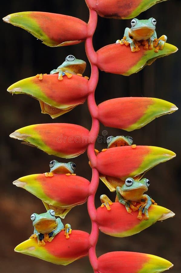 Fliegenfrosch, Frösche, Baumfrosch, Amphibien, Tiere, Makro-, Makrophotographie, Tierphotographie, Tierfotos, Rhacophorus-nigr lizenzfreies stockfoto