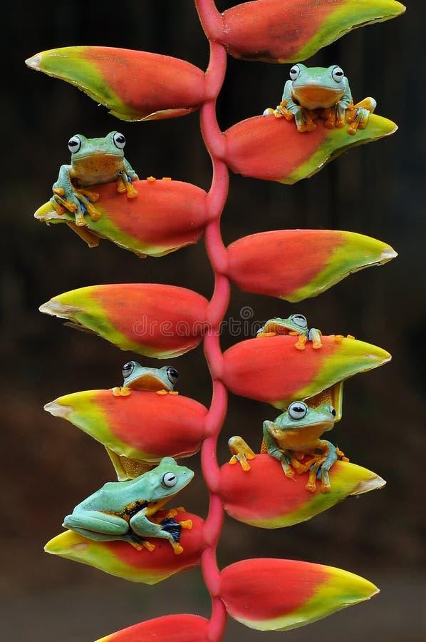 Fliegenfrosch, Frösche, Baumfrosch, Amphibien, Tiere, Makro-, Makrophotographie, Tierphotographie, Tierfotos, Rhacophorus-nigr lizenzfreie stockbilder