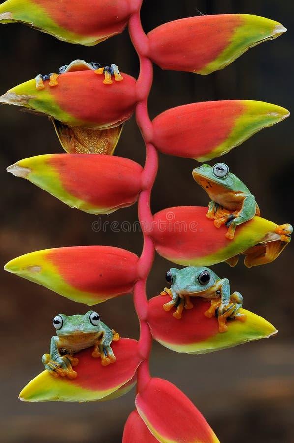 Fliegenfrosch, Frösche, Baumfrosch, Amphibien, Tiere, Makro-, Makrophotographie, Tierphotographie, Tierfotos, Rhacophorus-nigr stockfotografie
