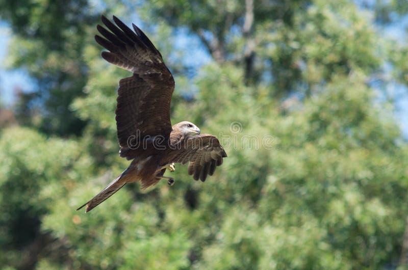 Fliegenkeilschwanzadler im Yarra-Tal in Victoria, Australien stockbild