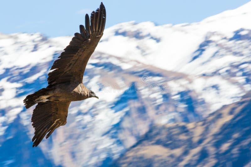 Fliegenkondor über Colca-Schlucht, Peru, Südamerika lizenzfreie stockbilder