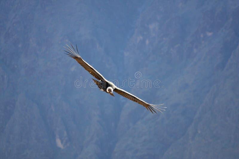 Fliegenkondor über Colca-Schlucht in Peru, Südamerika. lizenzfreie stockfotos