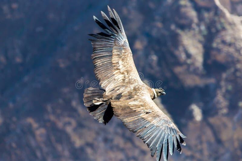 Fliegenkondor über Colca-Schlucht, Peru, Südamerika. Dieser Kondor der größte Fliegenvogel lizenzfreie stockfotos