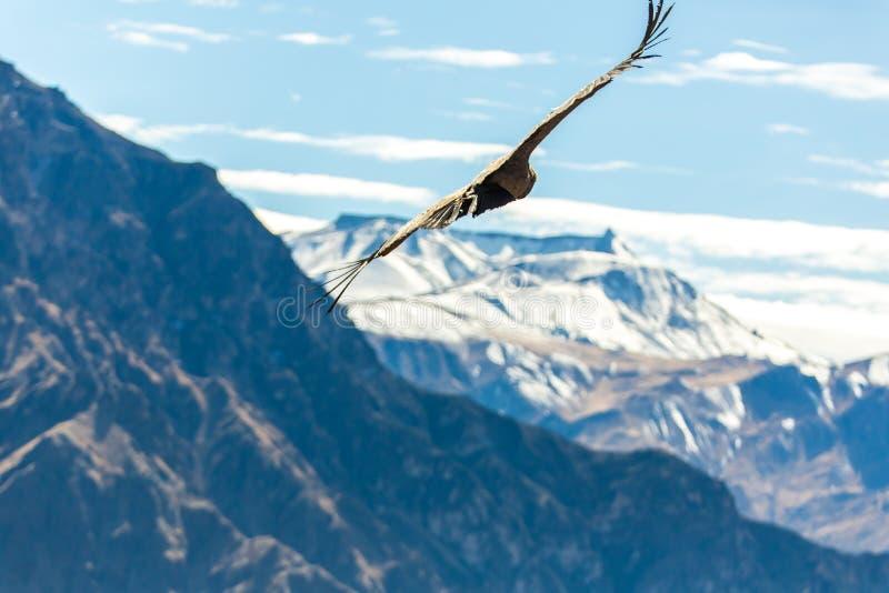 Fliegenkondor über Colca-Schlucht, Peru, Südamerika. Dieser Kondor der größte Fliegenvogel lizenzfreie stockfotografie