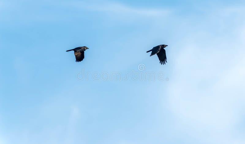 Fliegenkrähen stockfotos