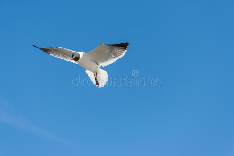 Fliegenmöven oder -seemöwen bei Galveston Texas lizenzfreie stockbilder
