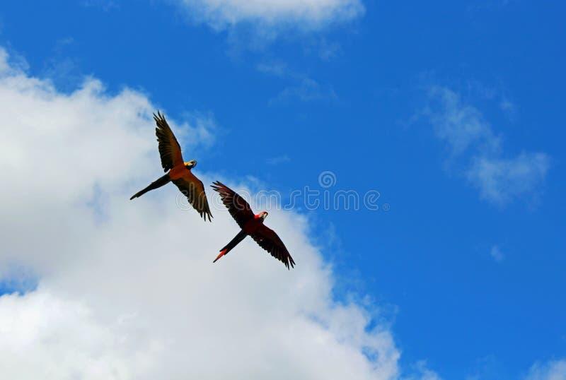 Fliegenpapageien unter blauem Himmel stockbild