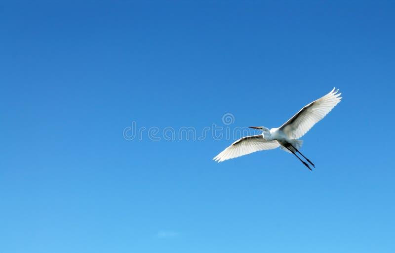 Fliegenreihervogel lizenzfreie stockfotos