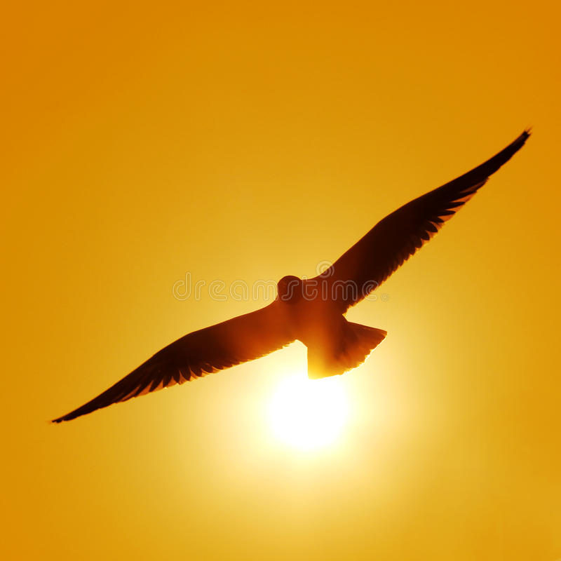 Fliegenseemöwe stockbilder