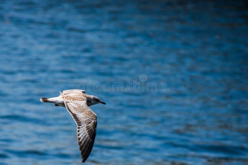 Fliegenseemöwe in dem Meer stockfotos