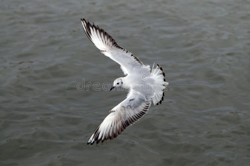 Fliegenseemöwe, Draufsicht stockfoto