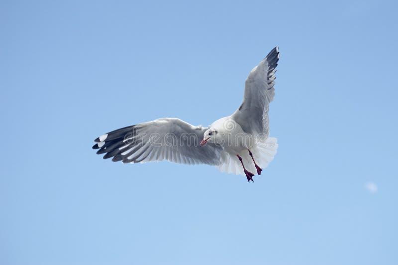 Fliegenseemöwenvogel stockfoto