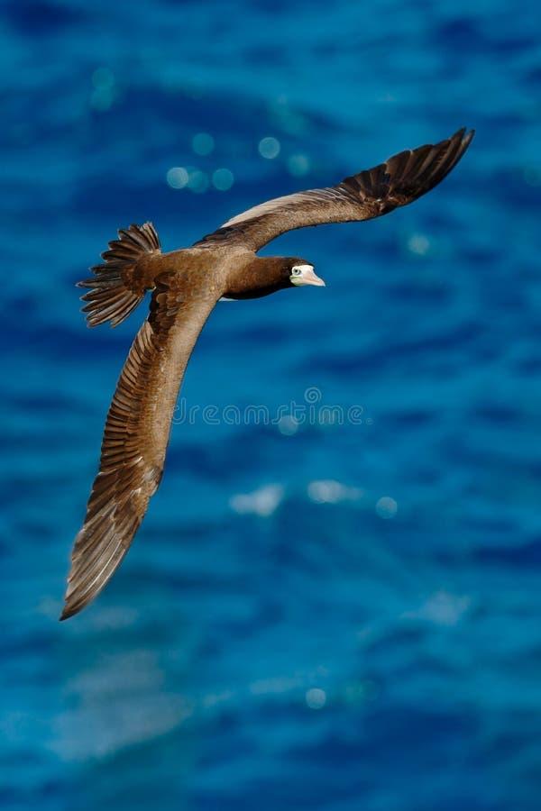 Fliegenseevogel, Brown-Dummkopf, Sula leucogaster, mit Nestmaterial in der Rechnung, mit dunkelblauem Meerwasser im Hintergrund,  lizenzfreie stockfotografie