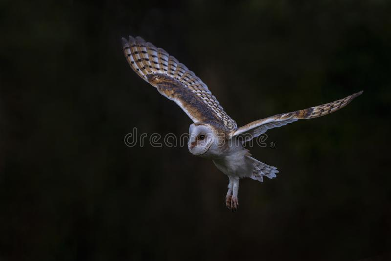 Flies Barn owl Tyto alba, jakt Mörk grön bakgrund Noord Brabant i Nederländerna Skriver utrymme arkivbilder