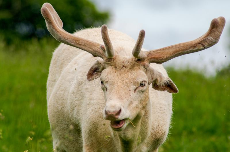 An albino fallow deer royalty free stock photos