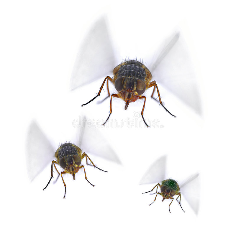Free Flies Fly Insect Pest Pests Stock Image - 3602391