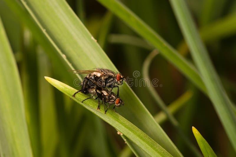 Flies Making Love Royalty Free Stock Photo
