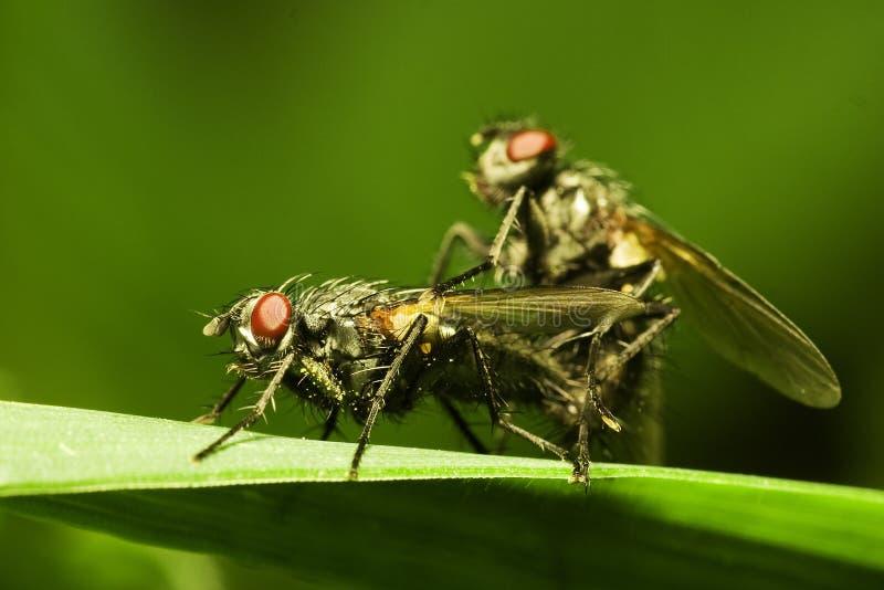 Flies matting stock photos