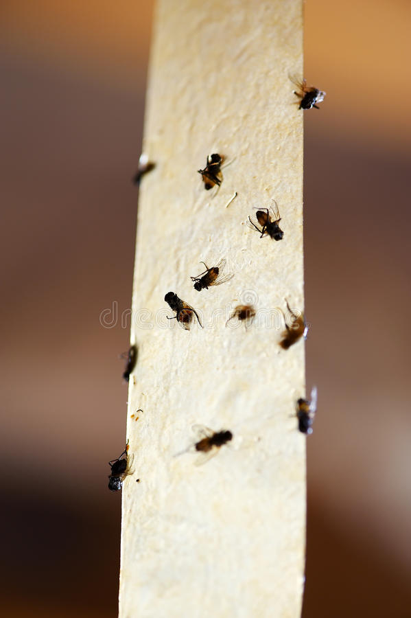 Download Flies On A Sticky Tape Trap Stock Image