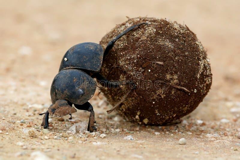 Flighless Dung Beetle Rolling Ball fotografie stock libere da diritti