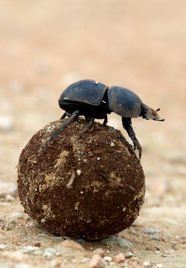 Flighless Dung Beetle Rolling Dung Ball fotografie stock
