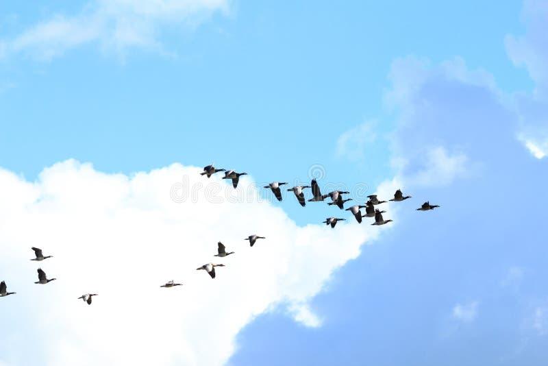Flight of barnacle geese, Rammelwaard, Holland stock photo