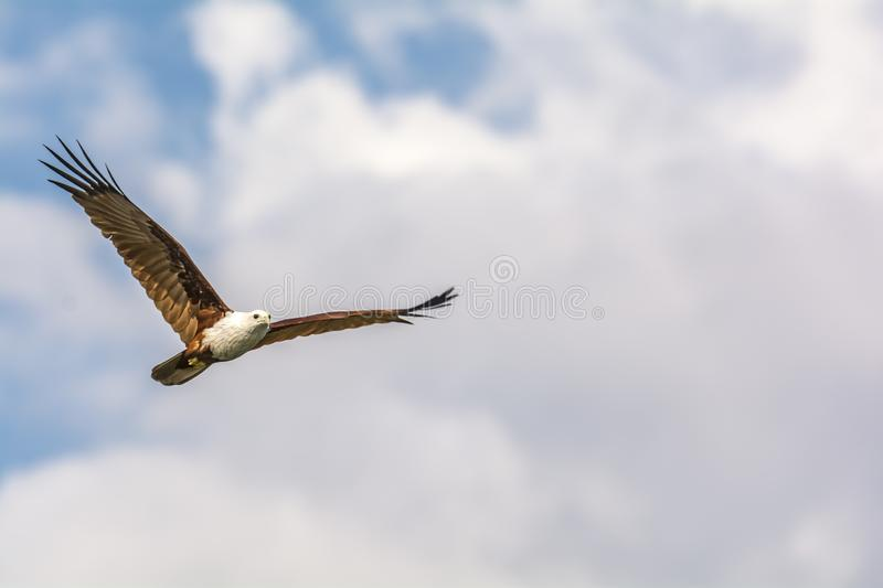 Flight of a Brahminy Kite - Haliastur Indus. The brahminy kite, also known as the red-backed sea-eagle in Australia, is a medium-sized bird of prey in the family royalty free stock photos