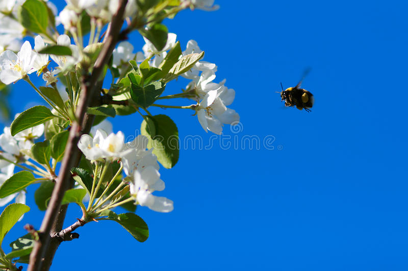 Download Flight of bumble bee stock photo. Image of blue, color - 13137874