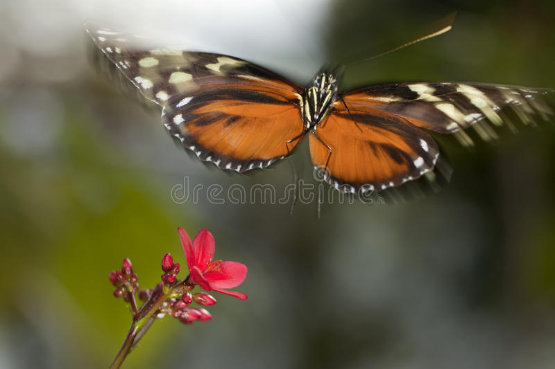 Flight - Butterfly Taking off royalty free stock image