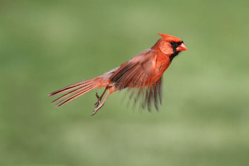 In Flight cardinal masculin photographie stock