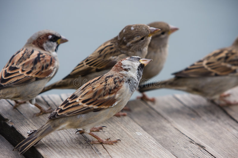 Flight of curious sparrows. Is listening to something interesting royalty free stock photography