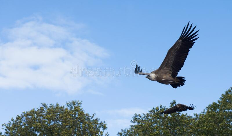 Flight of eagles through the forest royalty free stock photo