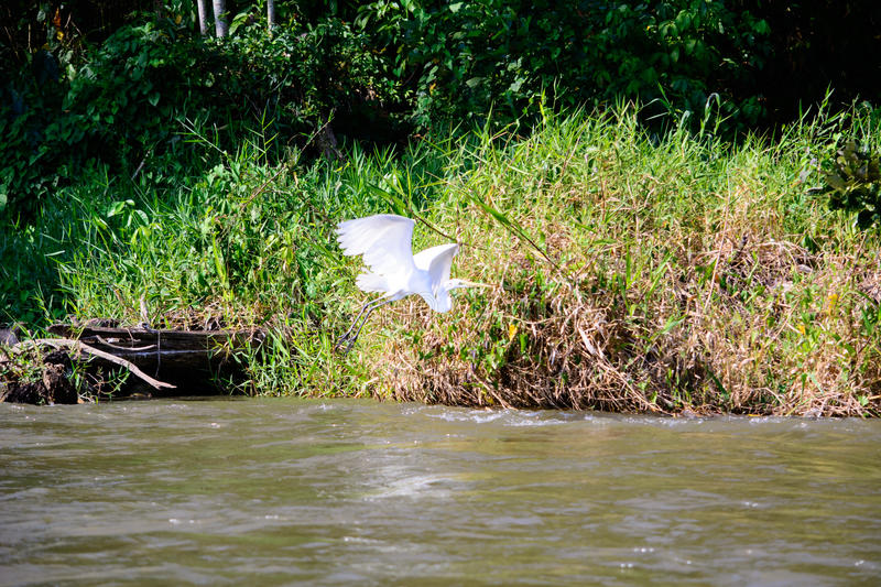 Flight of the Egret royalty free stock photography