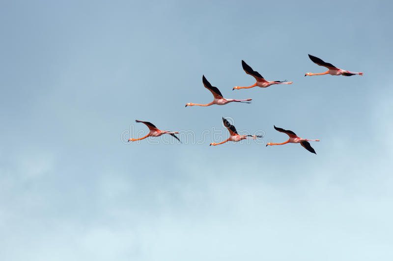 Flight of flamingos in a V-shaped formation. royalty free stock images