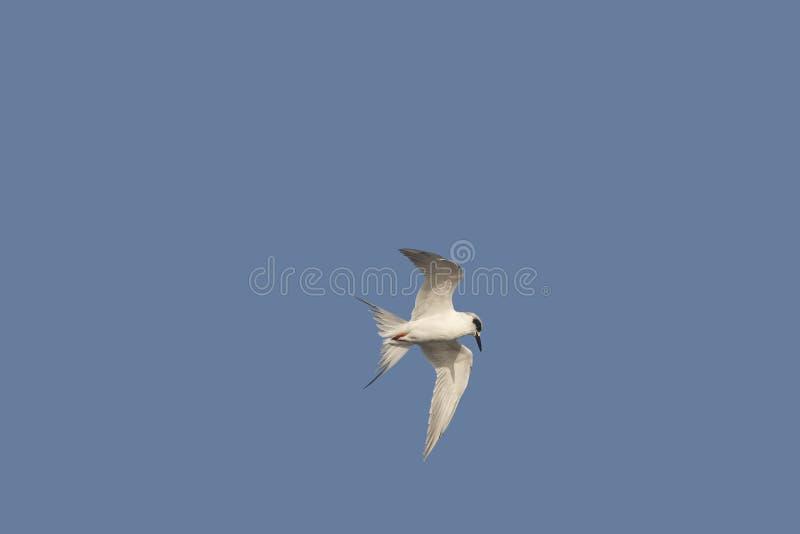 In-Flight Forsters Tern on Blue