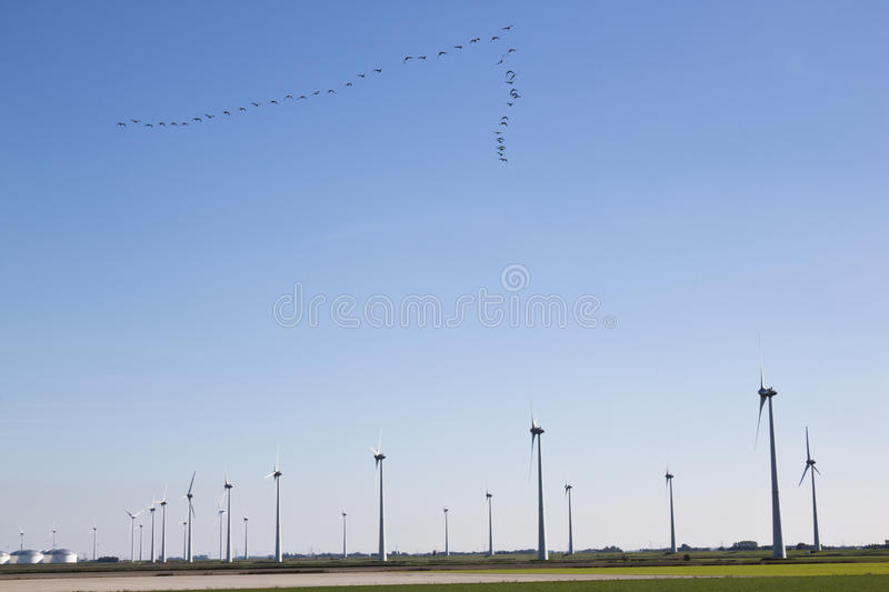 Flight of geese and windmills in dutch landscape stock photos