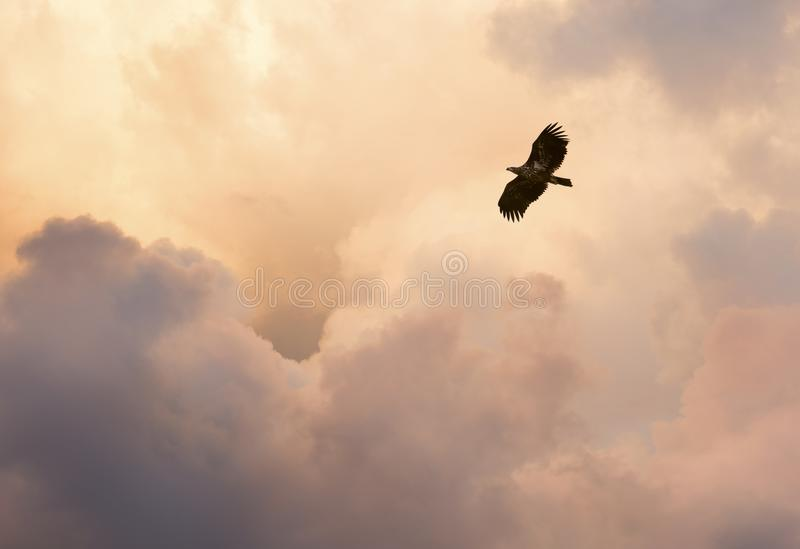 Flight and glory. Steppe eagle flying against cloudy evening sky. Warm colours stock image
